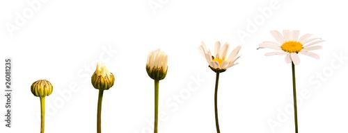 La Croissance La De De Fleur Lis