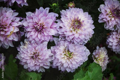 A group of flowers Korean chrysanthemum with white petals with dark     A group of flowers Korean chrysanthemum with white petals with dark pink  fringing  against a