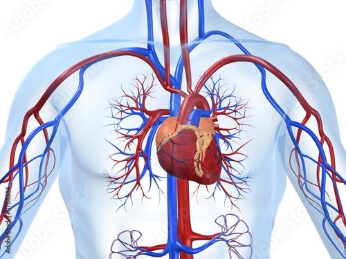 circulatory system images - 840×630