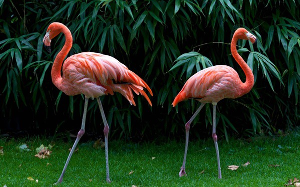 Flamingos Most Beautiful