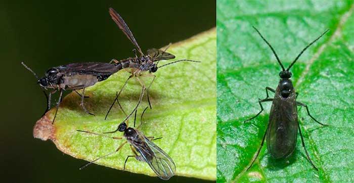 Szireards, houba komariki - černé mosh na domácí rostliny