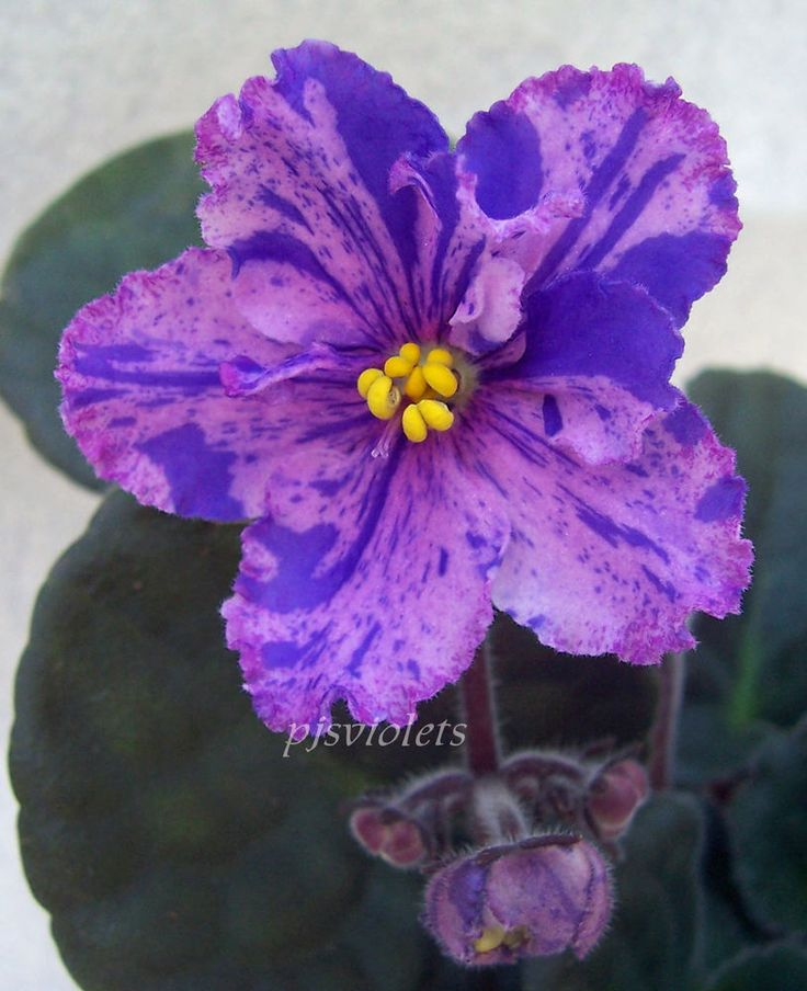 African Violet Mellow Magic Pair Of Leaves Africanviolet Ideas And Designs