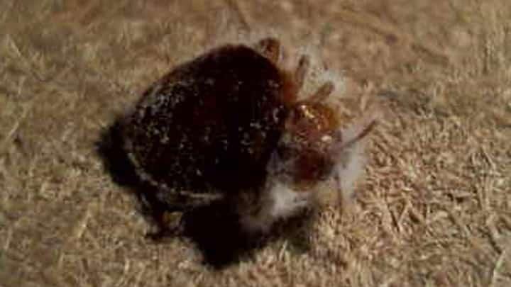 Bugs Originate How Bed Do