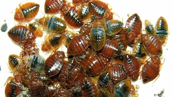 Are Bed Bugs Many Different How There