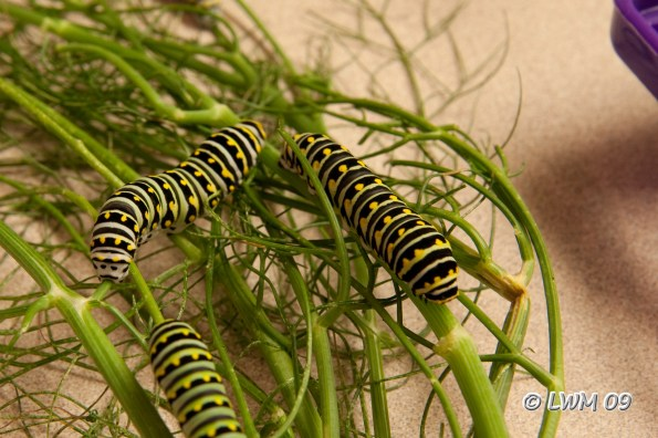 Eastern Black Swallowtail | Texdr's Blog