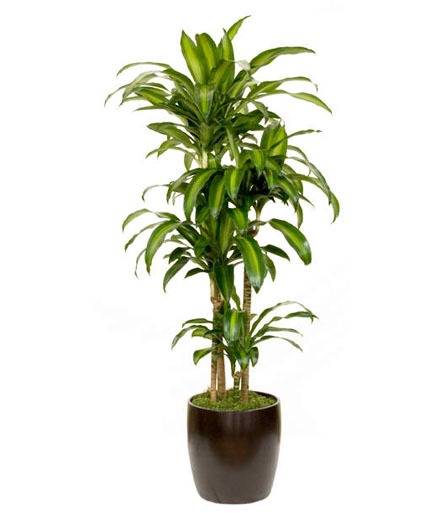 Lime Tip Dracaena Lemon