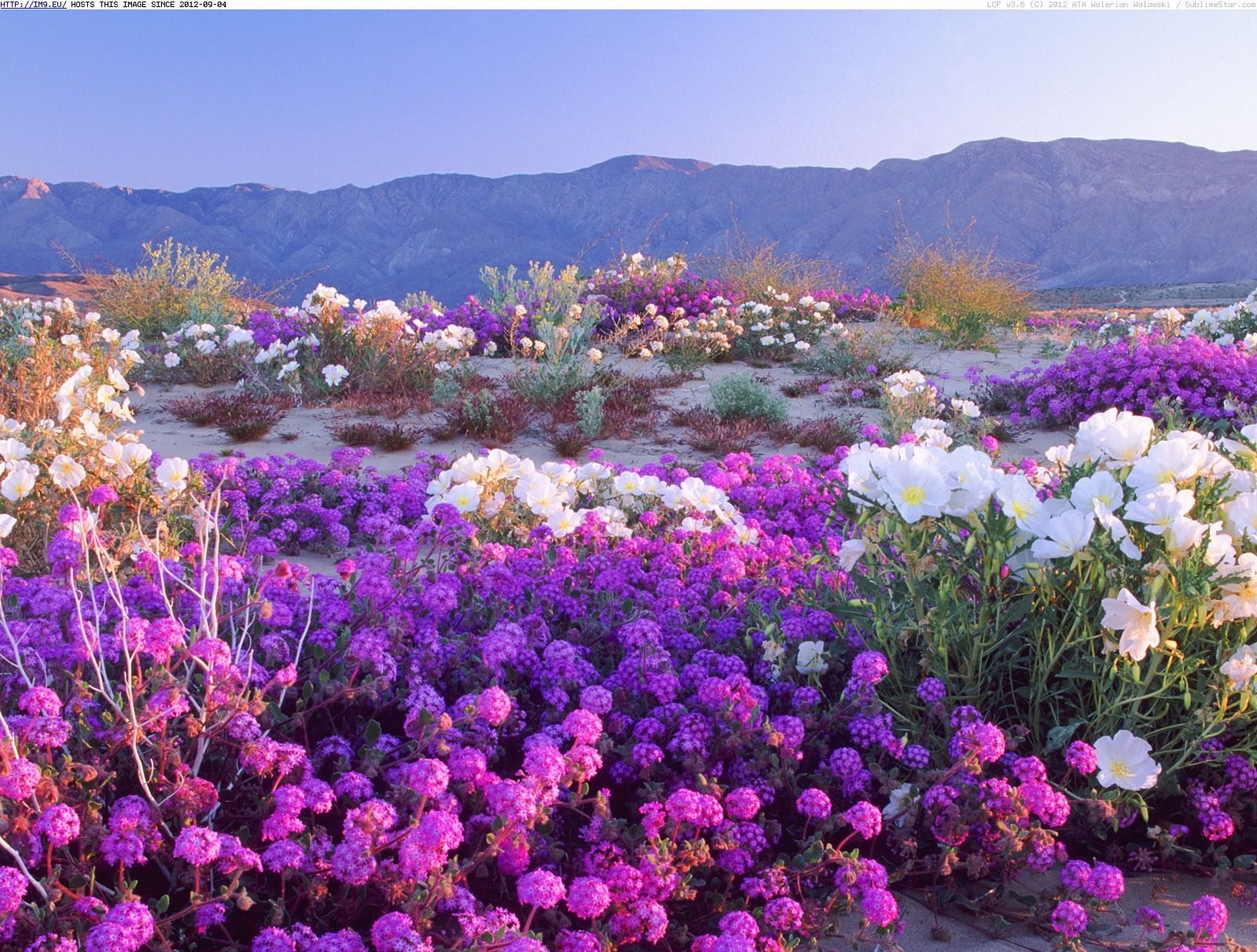 Places to Wander the Wildflowers this Spring   The Confessioness desert flowers anza borrego desert state park california       10995131 614868705280414 1463645460 n