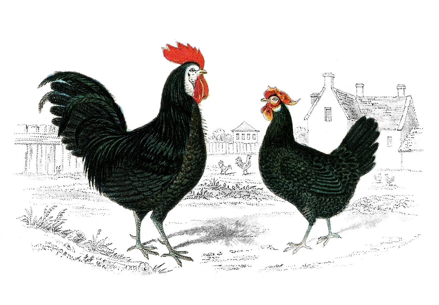 Hen White And Art Clip French Black