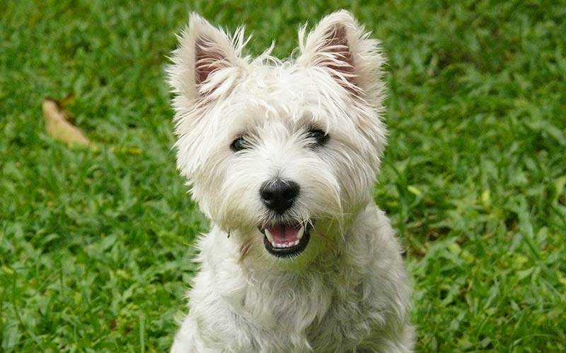 Westie Dog Breed Information Centre For The West Highland ...