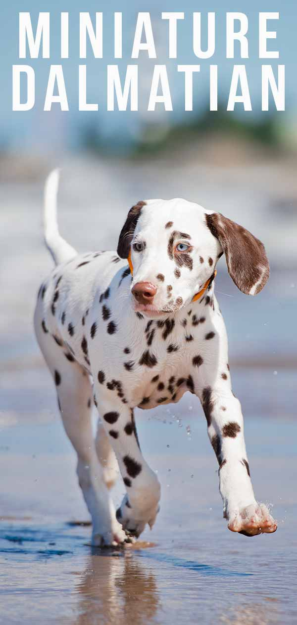 Miniature Dalmatian Your Guide To A Tiny Spotted Dog