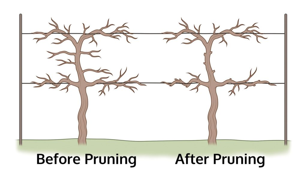 How To Prune Grapes The Housing Forum