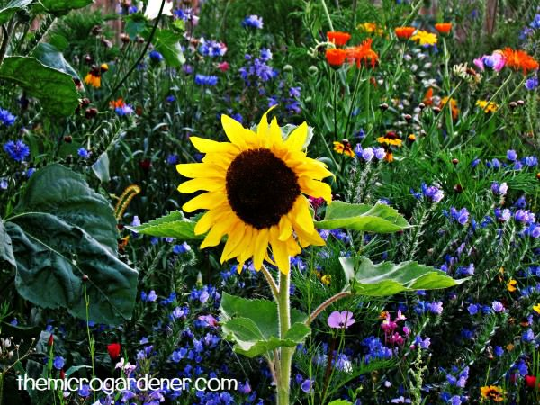 5 Reasons to Grow Sunflowers   The Micro Gardener Stunning yellow sunflowers are a vibrant feature plant amongst other flowers  or vegetables