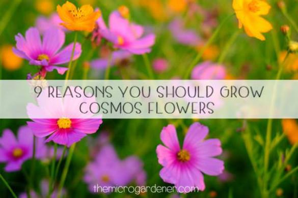 9 Reasons You Should Grow Cosmos Flowers   The Micro Gardener Cosmos Flowers