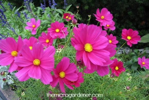 9 Reasons You Should Grow Cosmos Flowers   The Micro Gardener Cosmos add beauty and colour to your garden  especially when planted en  masse