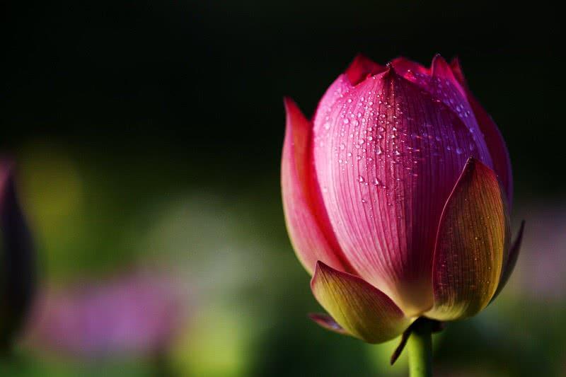 Lotus Face Cream Summer