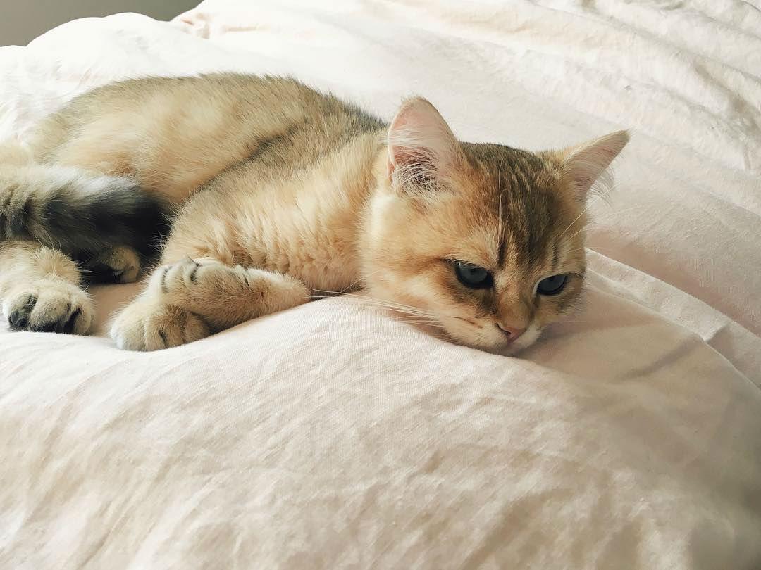 Kucing Keturunan Sangat Langka Ini Super Unyu Sharing