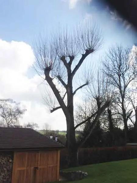 Tree Pollarding In Hertfordshire And North London