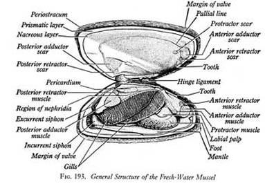 Mussels Anatomy Diagram - Trusted Wiring Diagram •
