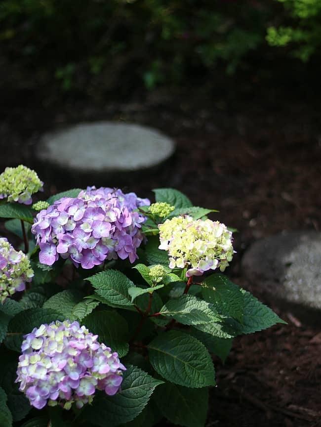 Planting beautiful hydrangeas in your garden is no easy task.