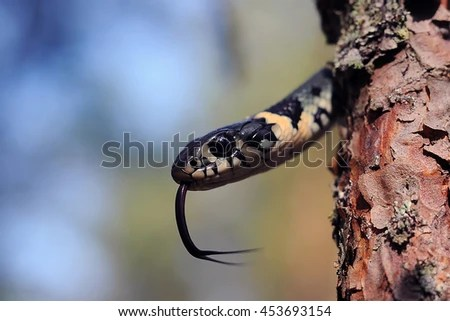 Snake Tongue Stock Images, Royalty-Free Images & Vectors ...