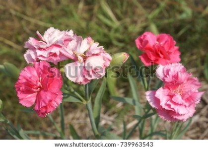 Pink Scarlet Flowers Chinese Carnation Dianthus Stock Photo  Royalty     Pink and scarlet flowers   Chinese carnation  Dianthus chinensis  close up