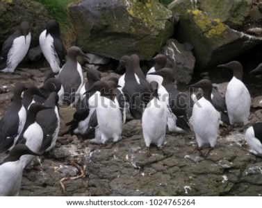 Flock Guillemots On Rocks Treshnish Isles Stock Photo  Royalty Free     Flock of guillemots on rocks  Treshnish Isles  Isle of Mull  Scotland