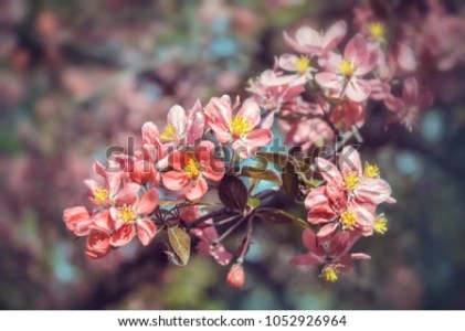 Beautiful Flowers Japanese Sakura Delicate Flowering Stock Photo     Beautiful flowers of Japanese Sakura  Delicate flowering branches in the  spring season Pink buds Abstract
