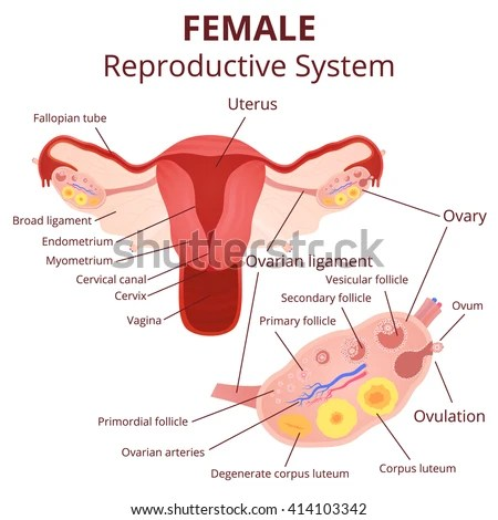 Ovary Stock Photos, Images, & Pictures | Shutterstock
