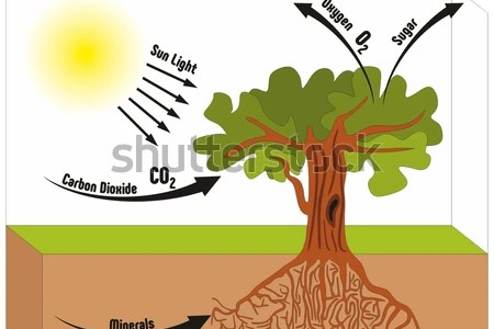 Photo studio backgrounds png photosynthesis photo background photo shutterstock photosynthesis explanation science diagram illustration photosynthesis diagram images stock photos vectors shutterstock photosynthesis ccuart Choice Image