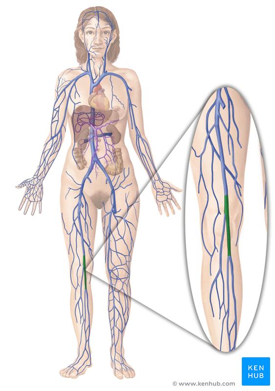 Neck And Upper Extremity Venous Anatomy