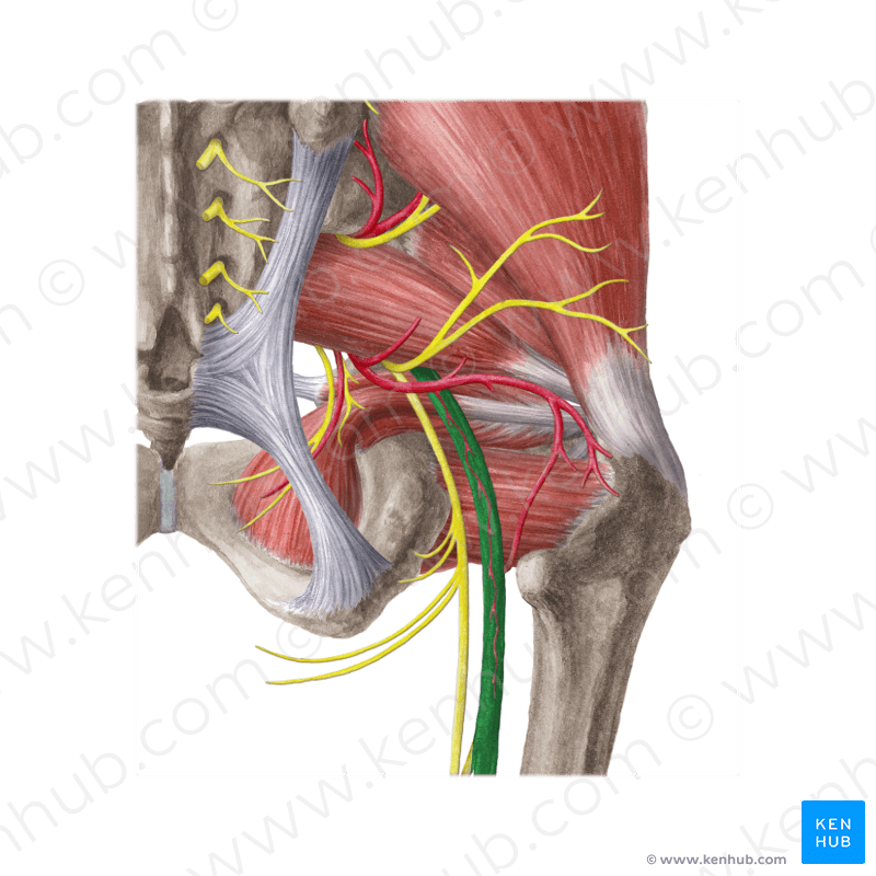 Foot Muscle Dorsal Surface Anatomy