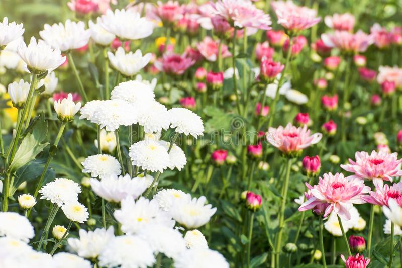 Beautiful Of Chrysanthemums Flowers Outdoors Daisies In The Agri     Download Beautiful Of Chrysanthemums Flowers Outdoors Daisies In The Agri  Stock Image   Image of