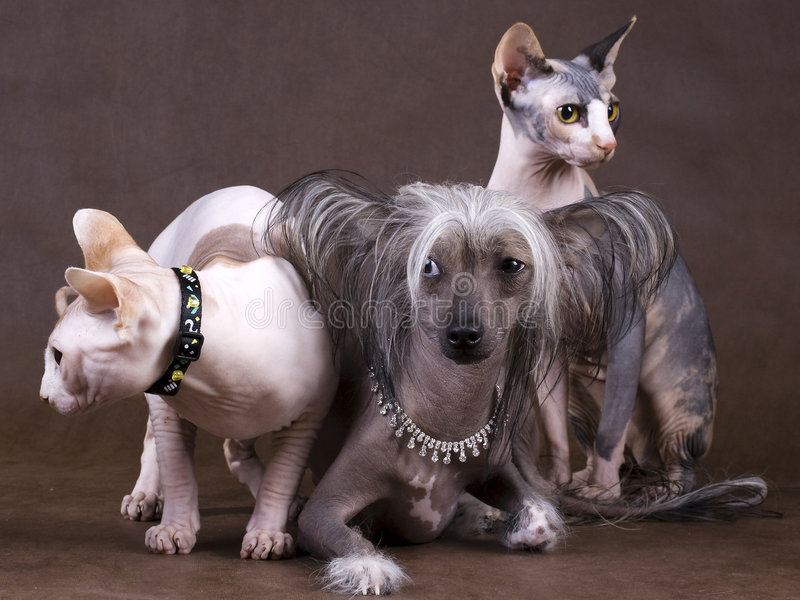 Chinese Crested Dog, Don Sphynx And Peterbald Royalty Free ...