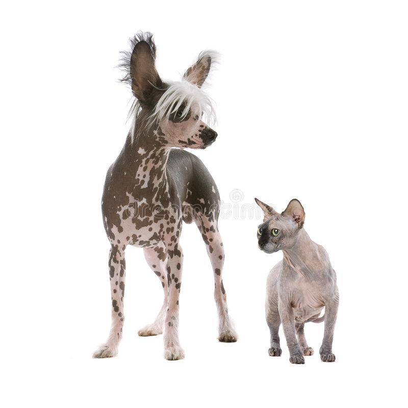 Chinese Crested Dog And A Sphynx Hairless Cat Stock Photo ...
