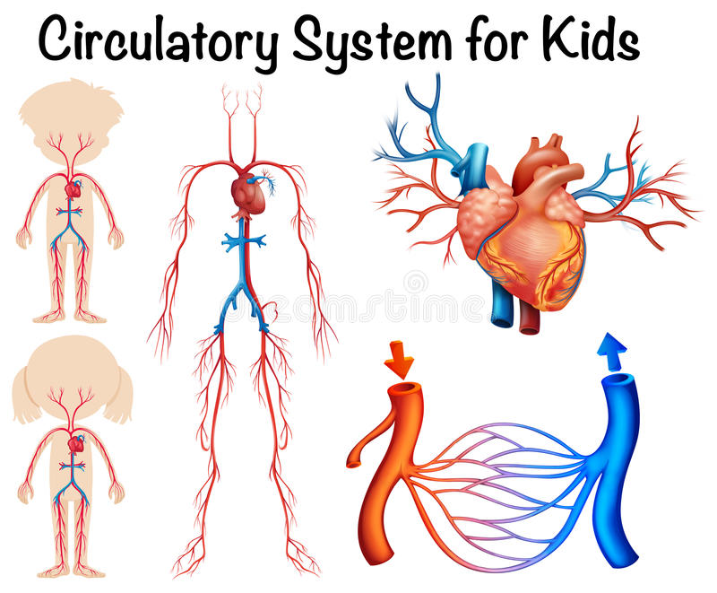 Circulatory System For Kids Stock Vector - Illustration of ...