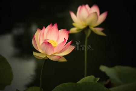 Flowers symbolize new beginnings flower shop near me flower shop lotus flower symbolizes strength positivity new beginnings lotus flower symbolizes strength positivity new beginnings lotus flowers symbolizing growth and mightylinksfo