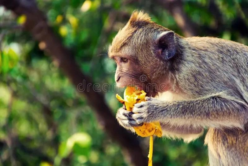 Eating Banana Baboon Tree