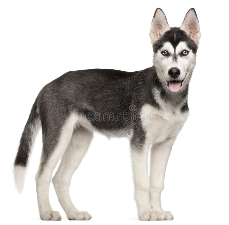 Tan Siberian Puppies White Husky Border Collie