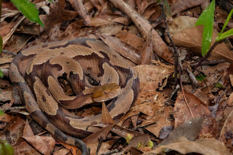 Copperhead Snake Highland Moccasin Stock Images - Download ...