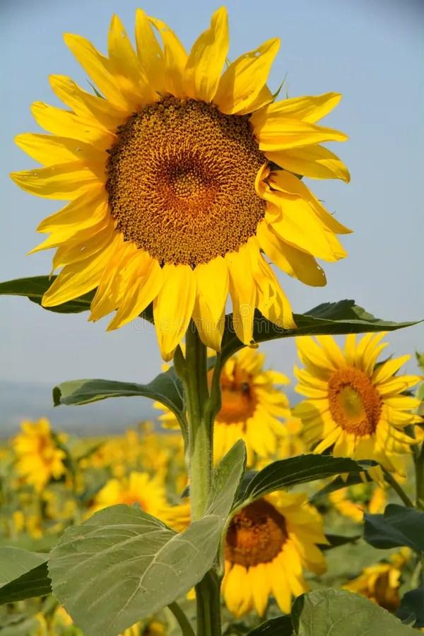 Sunflower Field Vertical Stock Photo Image Of Crop
