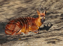 A Female Bongo stock image. Image of endangered, brown ...