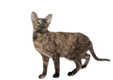 Chinese Crested Dog, Don Sphynx And Peterbald Stock Photo ...