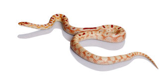 Snake on a white stock image. Image of creature ...