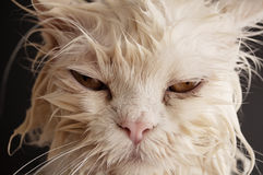 Angry Persian Cat Stock Photos, Images, & Pictures - 352 ...