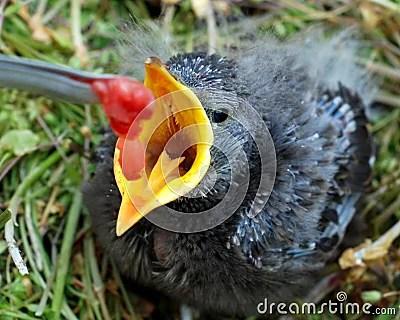 Baby Bird With Open Beak Being Fed Stock Photo Image