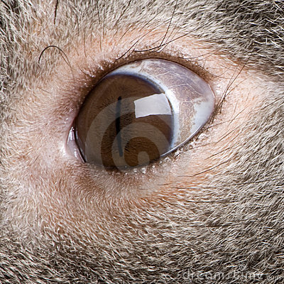 Close-up Of Male Koala Bear Eye Stock Image - Image: 10939911