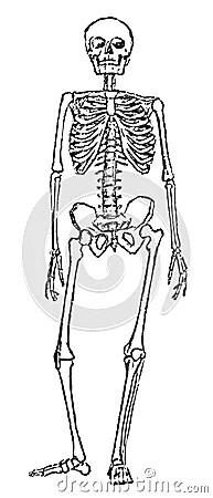 Skeleton Anatomy Stock Photo Image 34675910