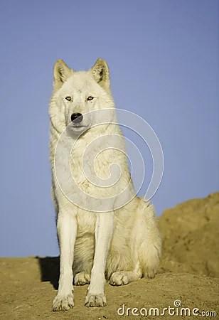 Wolf Den Stock Photos Image 1462503