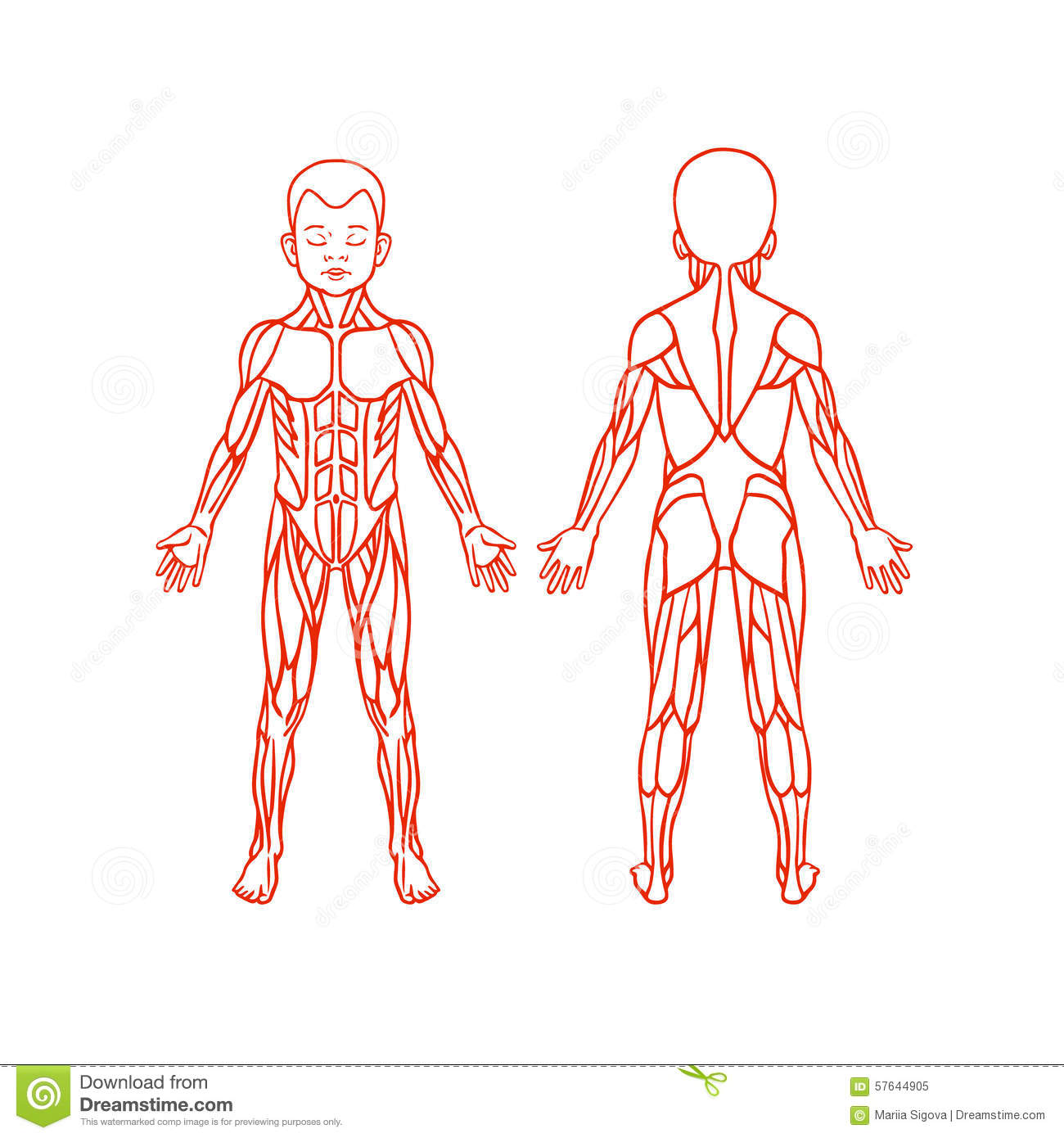 Muscle Human Body Outline Diagram For Kids
