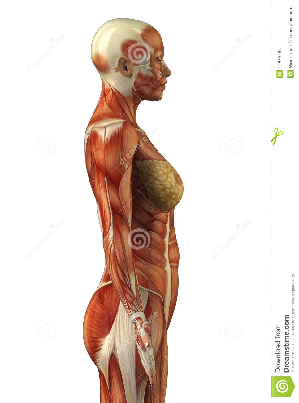 Upper Body Muscle System